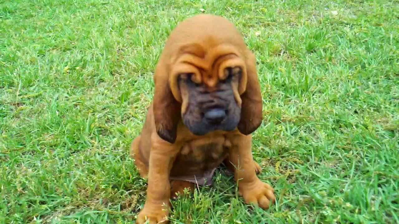 Bloodhound Dogs As Pets
