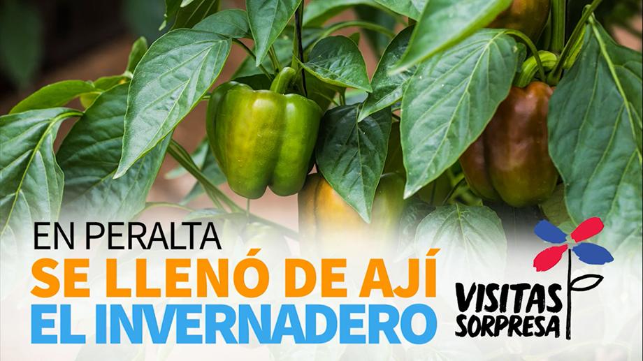 VIDEO: En Peralta se llenó de ají el invernadero