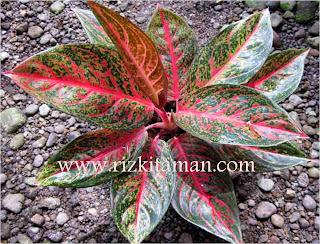 Jual aglaoenema tiara | suplier tanaman | aneka bromelia | sansiviera | adenium