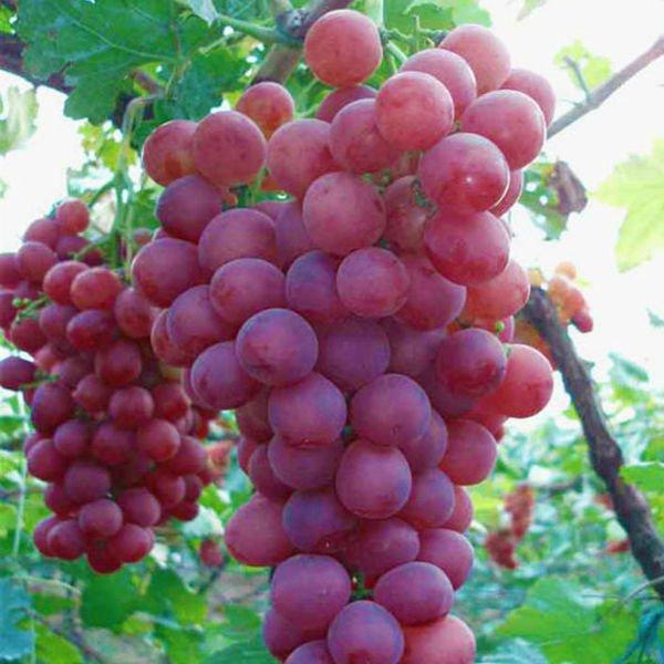 أهم فوائد العنب