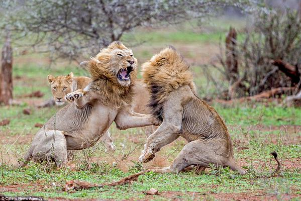 two lions fighting over female