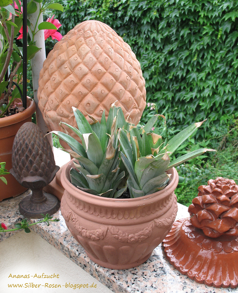 silber ananas aufzucht growing pineapples. Black Bedroom Furniture Sets. Home Design Ideas