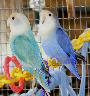 Mutasi blue, aqua dan turquoise pada lovebird