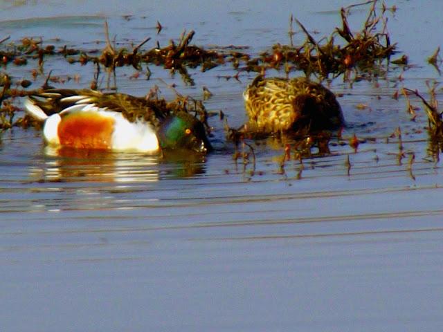 Muscatatuck National Wildlife Refuge - Waterfowl