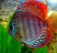 Sejarah Ikan Hias Discus ikan hias air tawar