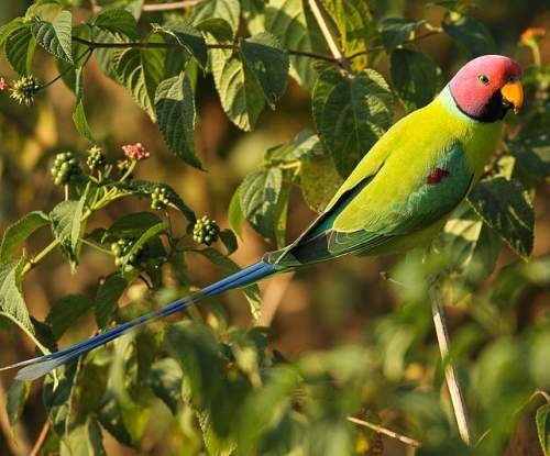 Birds of India - image of Plum-headed parakeet - Psittacula cyanocephala