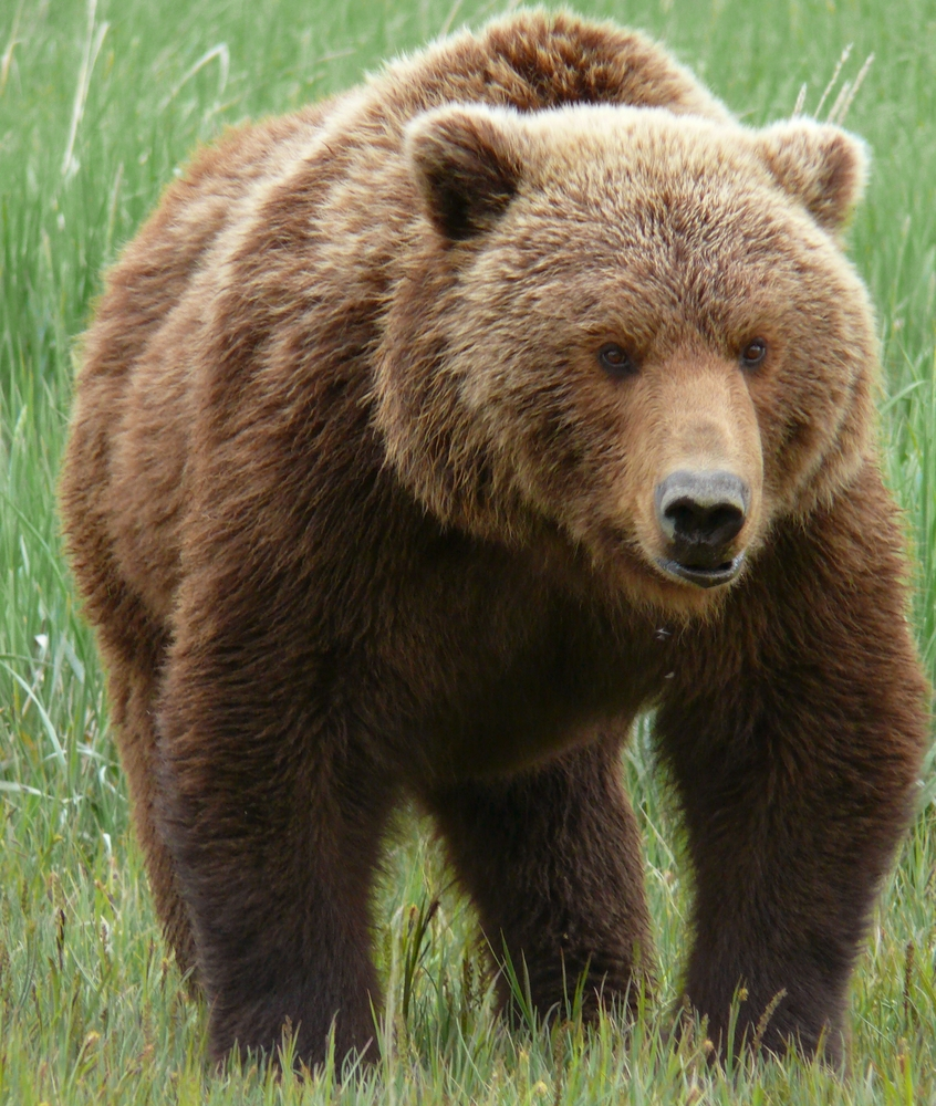 Grizzly Bear Basic Facts And New Pictures   The Wildlife