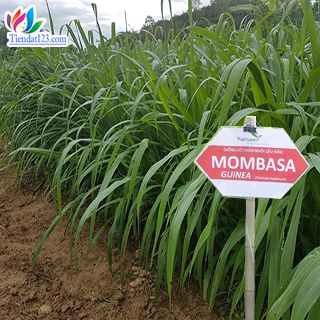 Giống cỏ ghine mombasa - cỏ sả lá lớn
