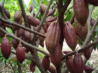 Manfaat Kakao - Iwan Ridwan