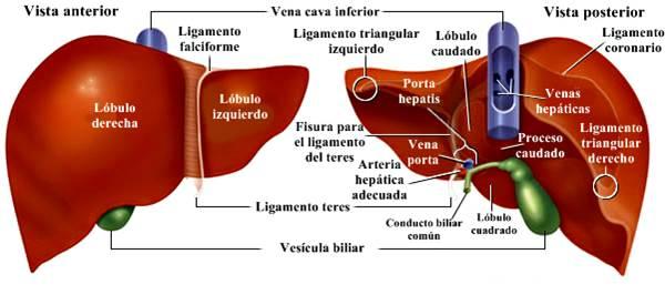 Sistema digestivo humano hígado
