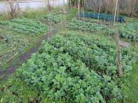 Green Manure - Winter Field Beans