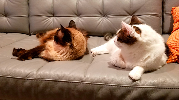 image of Matilda the Fuzzy Sealpoint Cat and Olivia the White Farm Cat both lying on the sofa on their sides, looking in the same direction