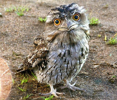 Frogmouth - Animals That Start With F