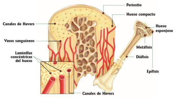 Características del huesos