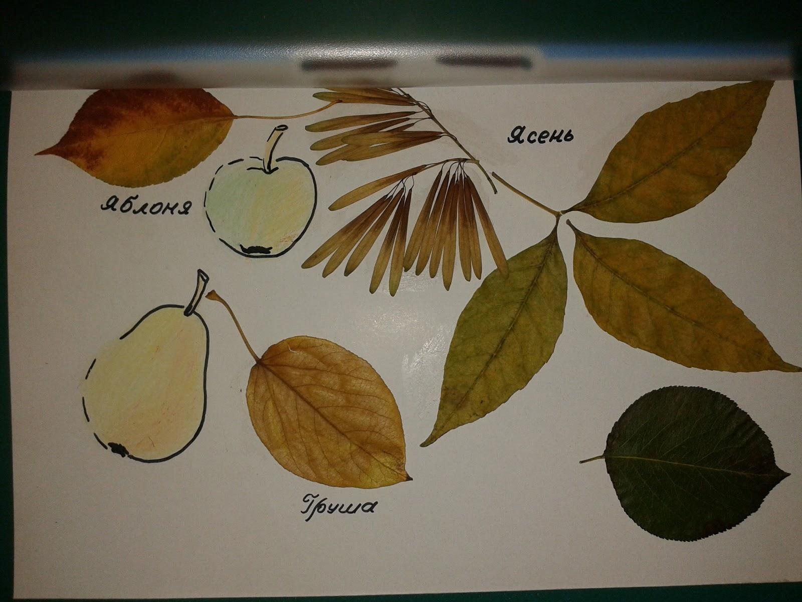 сделала как сделать гербарий из листьев деревьев фото вот вспомните мои