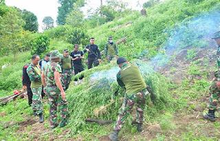 Personel Kodim 0116 Temukan Dua Hektar Ladang Ganja