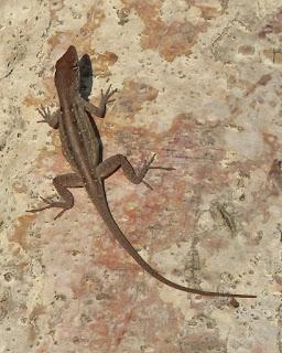 Photos de lézards de Cuba non identifiés