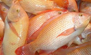 Cara Budidaya Ikan Nila Di Kolam Terpal Bagi Pemula ...