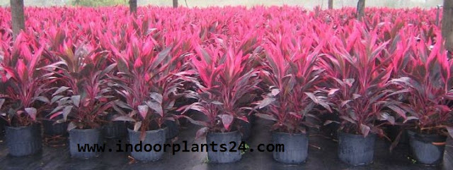 cordyline Fruticosa Plant potted picture