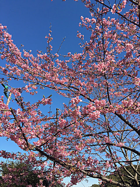 御岩屋道の桜