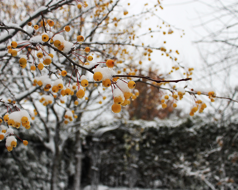 Tiny yellow crabapples covered with first snow. Photo by Kathleen Maunder