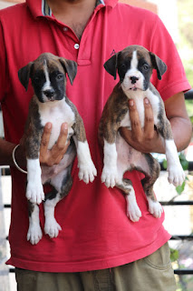 dog puppies for sale in bangalore