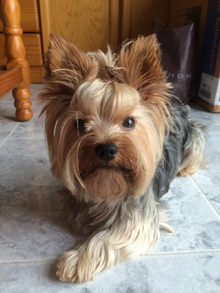 Yorkshire Terrier dog in Sitting position