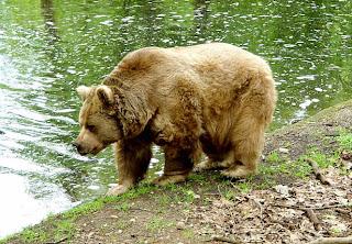 oso pardo actual