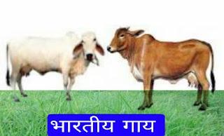 indian cow prjati