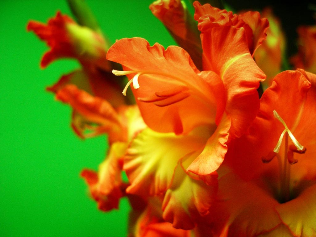 Gladiolus Flower Wallpaper