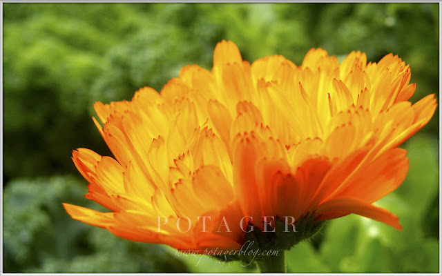 Orange Calendula backlit by morning sun