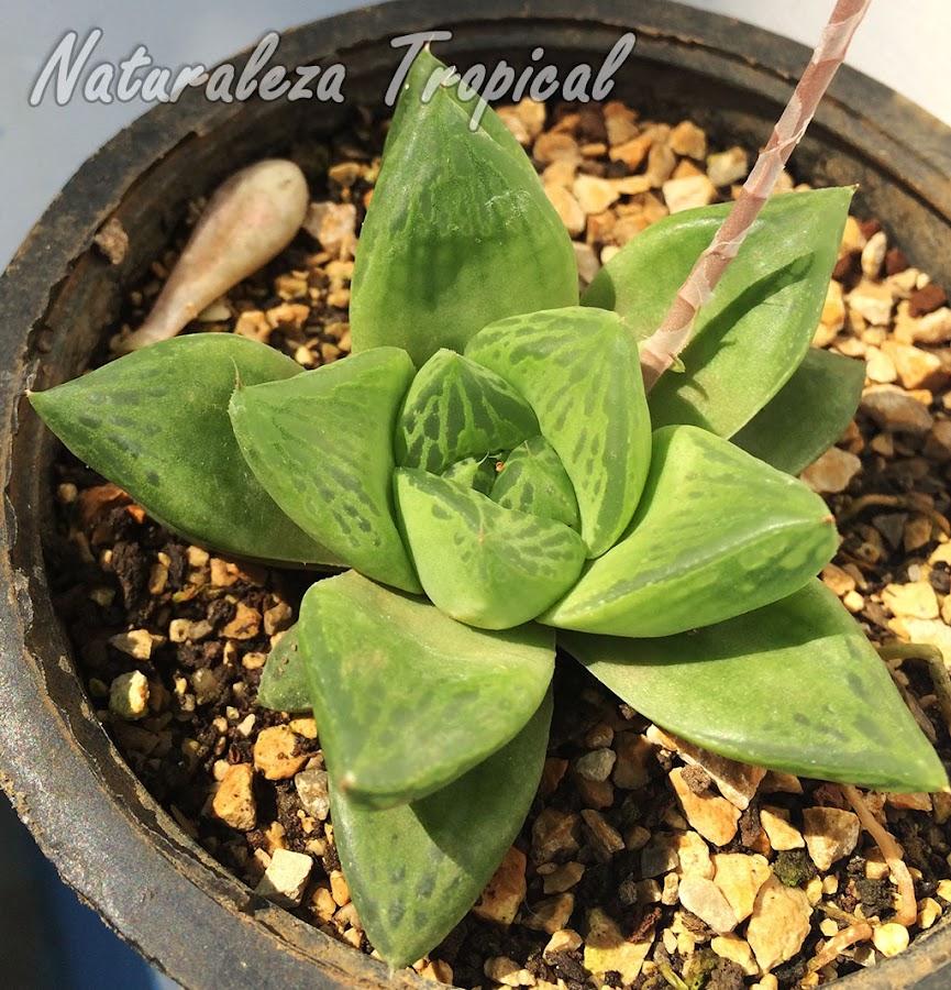 Una preciosa suculenta para tu colección, Haworthia cymbiformis