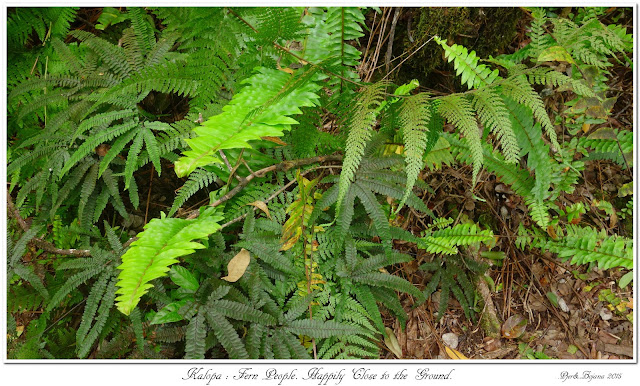 Kalopa: Fern People. Happily Close to the Ground.