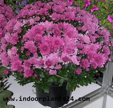 (Chrysanthemum Morifolium) Indoor house Plant picture potted
