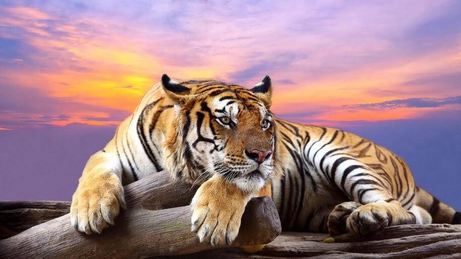 Tiger, 4K, #4.569