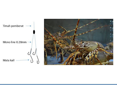 Cara tips umpan spotmancing Lobster