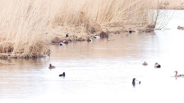 Tafelenten (roter Kopf) ruhen am Ufer eines Teiches