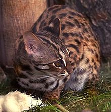 Forest Cat (Felis bengalensis)