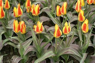Tulipe forsteriana Zwanendrift - Tulipa Zwanendrift - Tulipe Zwanendrift