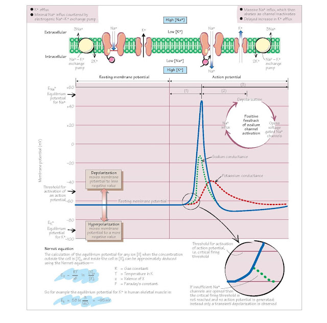 Resting Membrane And Action Potential, Action potential generation, Sequence of events in the generation of an action potential, equilibrium