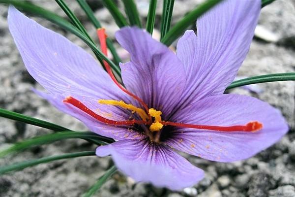 5 Manfaat Saffron Bagi Kecantikan Kulit Dan Rambut