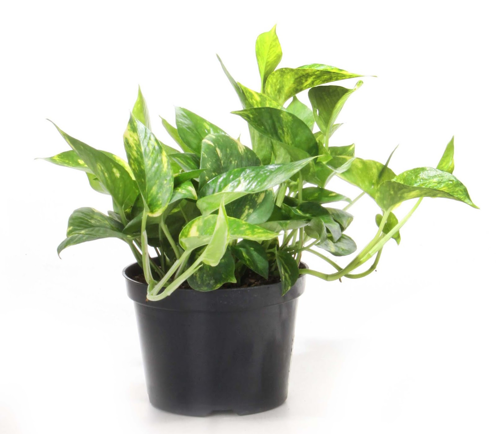 Where Buy Lily Plants