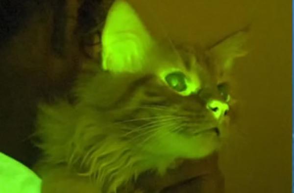 gato-verde-científica-Lasallista-clonación-gatos-curar-Alzheimer-SIDA-fibrosis-quística