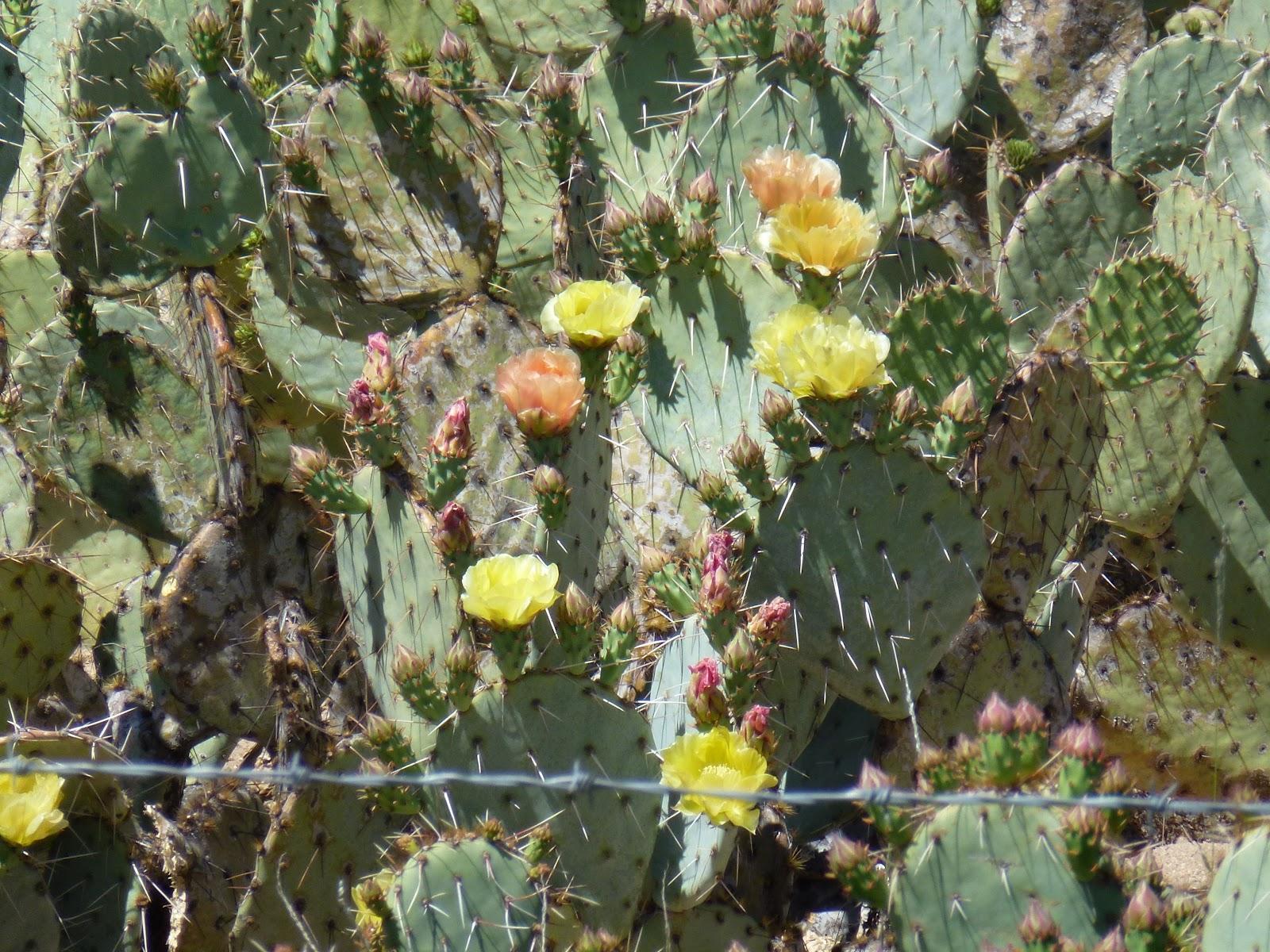 6 Reasons to Be Amazed by Arizona's Saguaro Cactus |Saguaro Cactus Flowers