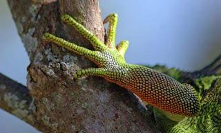 Extremidad de una Iguana