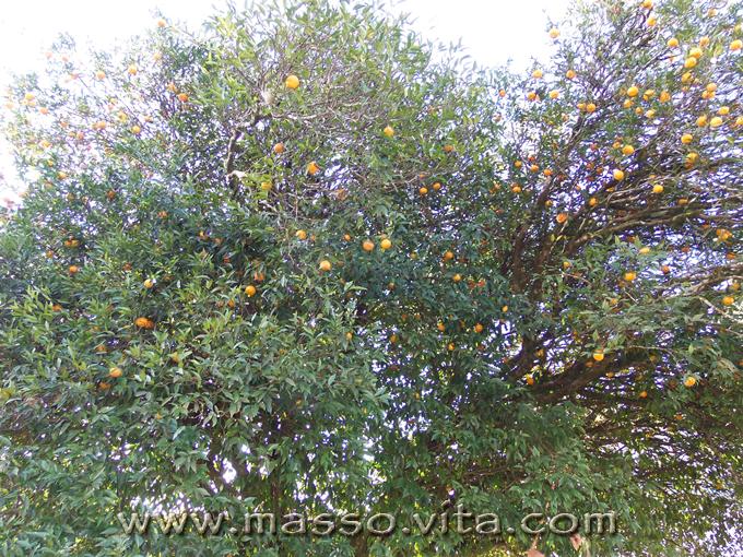 Natureza, pé de  bergamota