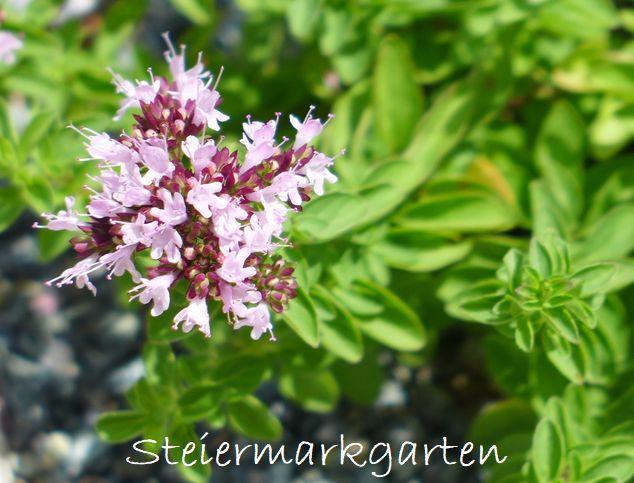 Oregano-Blüte-Steiermarkgarten