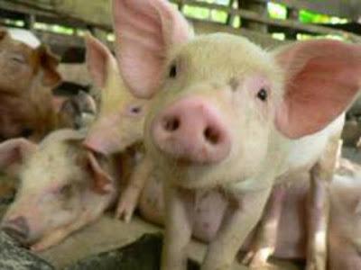 Επιστήμονες δημιούργησαν γουρούνι - τέρας που είναι κατά 0,001%... άνθρωπος!