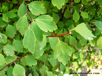 Fotos de arbustos de hoja caduca plantas riomoros for Arbustos de hoja caduca