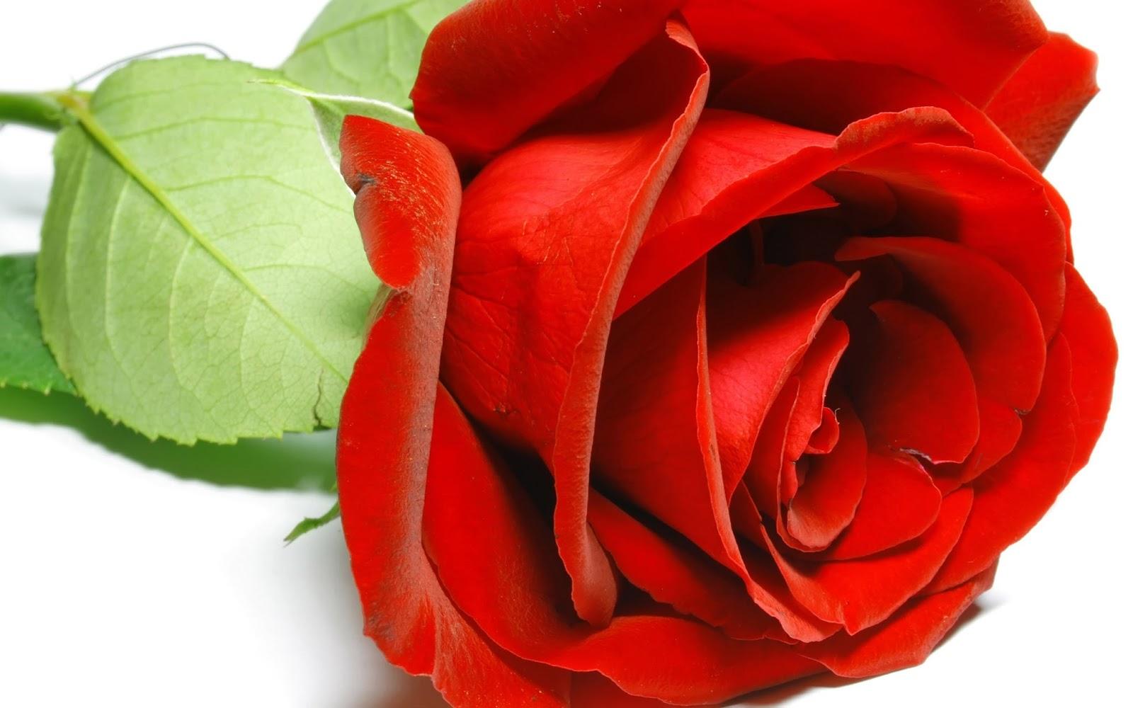 ANNE: Precious rose